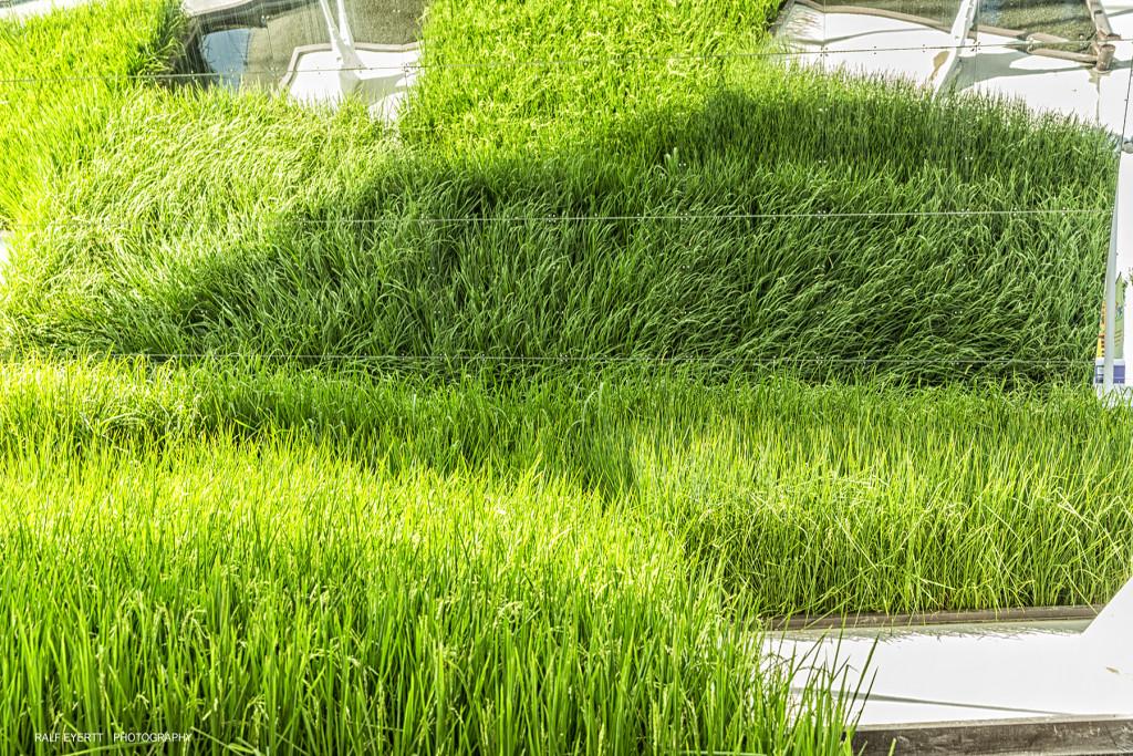 Eine Basmati Reis Anbaufläche als Deko